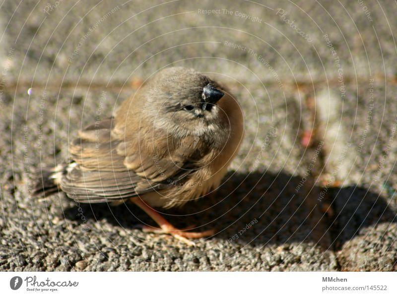 *piep* *piep* *piep* Vogel fliegen Pause ruhig Erholung üben klein Schnabel Feder braun Makroaufnahme Nahaufnahme Flugschüler Flugschule Absturz Federvieh