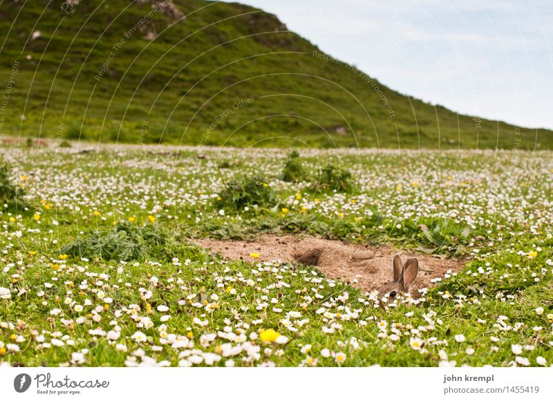 Kuckuck! Pflanze Tier Blume Gras Gänseblümchen Wiese Feld Schottland Isle of Skye Hase & Kaninchen Kaninchenbau 1 Neugier niedlich Lebensfreude Frühlingsgefühle