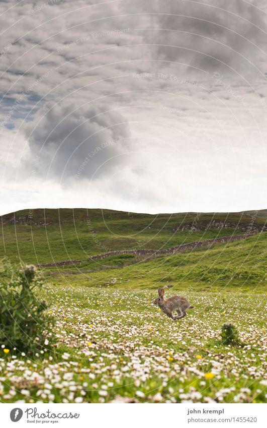 Lauf Hase lauf Natur Landschaft Blume Gras Gänseblümchen Wiese Feld Isle of Skye Schottland Tier Wildtier Hase & Kaninchen Kaninchenbau 1 springen