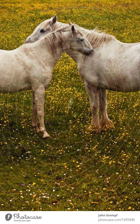 Mehr Schmusen Natur Pflanze Blume Wiese Schottland Pferd 2 Tier Liebe Freundlichkeit Zusammensein Glück kuschlig Kitsch Lebensfreude Vertrauen Geborgenheit