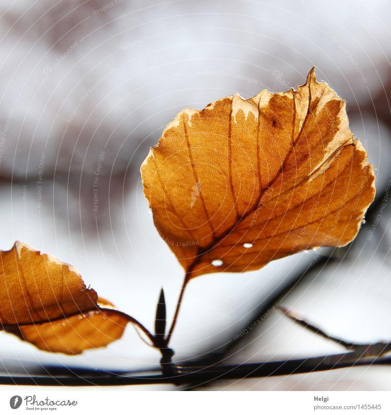 die Kraft ist raus...  Helgiland II Natur alt Pflanze Baum Blatt Umwelt Leben Herbst Senior natürlich grau braun Stimmung Park authentisch ästhetisch