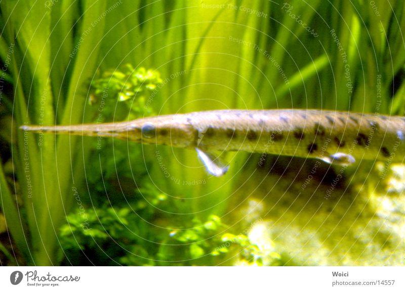Hecht grün Fisch Aquarium Wasserpflanze
