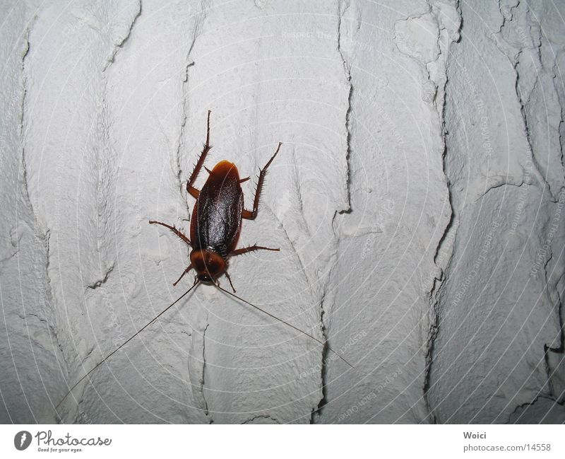 Haustiere in Venezuela Gemeine Küchenschabe Schädlinge Insekt Cockroach Käfer Kuba