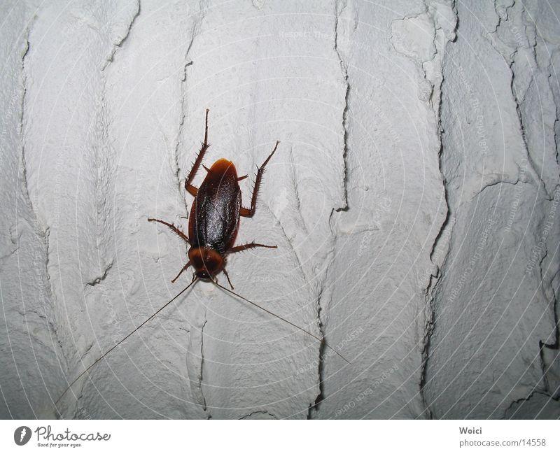 Haustiere in Venezuela Insekt Kuba Käfer Schaben Schädlinge Gemeine Küchenschabe