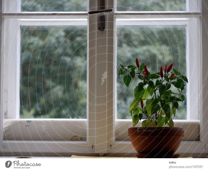 WINDOW grün rot Fenster Glas Wachstum Küche violett Ernte gießen Glasscheibe Fensterbrett Blumentopf Dachgaube Tontopf