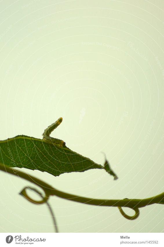Nimmersatt grün Sommer Blatt Ernährung oben grau klein hoch Kreis Vergänglichkeit aufwärts Fressen beweglich Biegung Geäst strecken