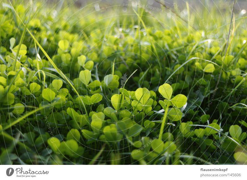 Klee Wiese Natur Gras frisch grün Tiefenschärfe Farbfoto Nahaufnahme Kleeblatt Blattgrün Sommer