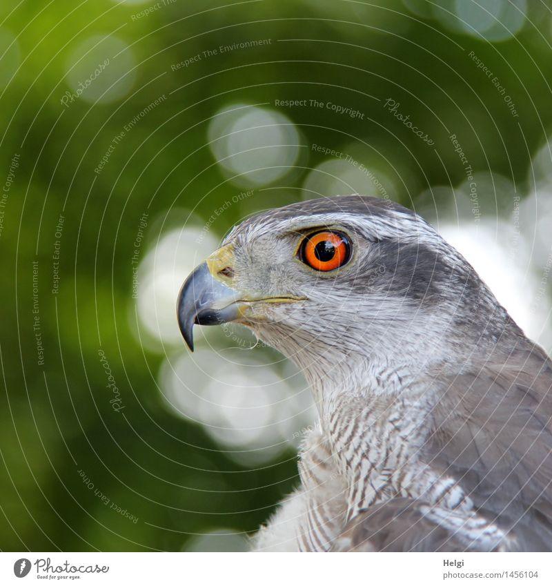 wachsam... Umwelt Natur Tier Sommer Wildtier Vogel Tiergesicht Habichte 1 beobachten Blick warten ästhetisch schön einzigartig natürlich grau grün orange weiß
