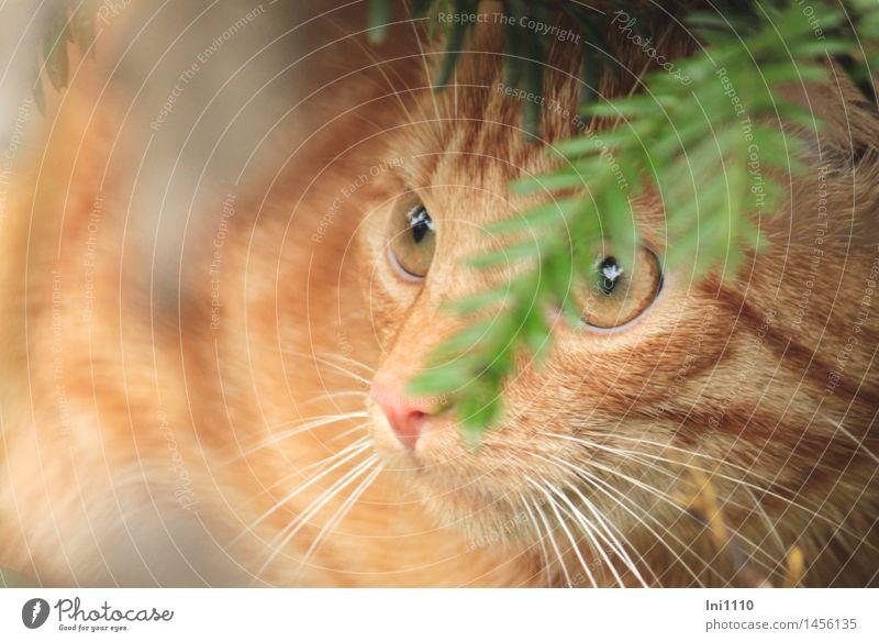 roter Kater Katze Pflanze grün schön weiß Baum Tier Herbst natürlich Garten braun orange glänzend Wetter warten Beginn