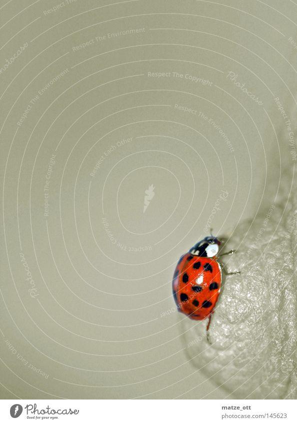 Klettermaxe Tier Insekt Brust Käfer Marienkäfer Makroaufnahme