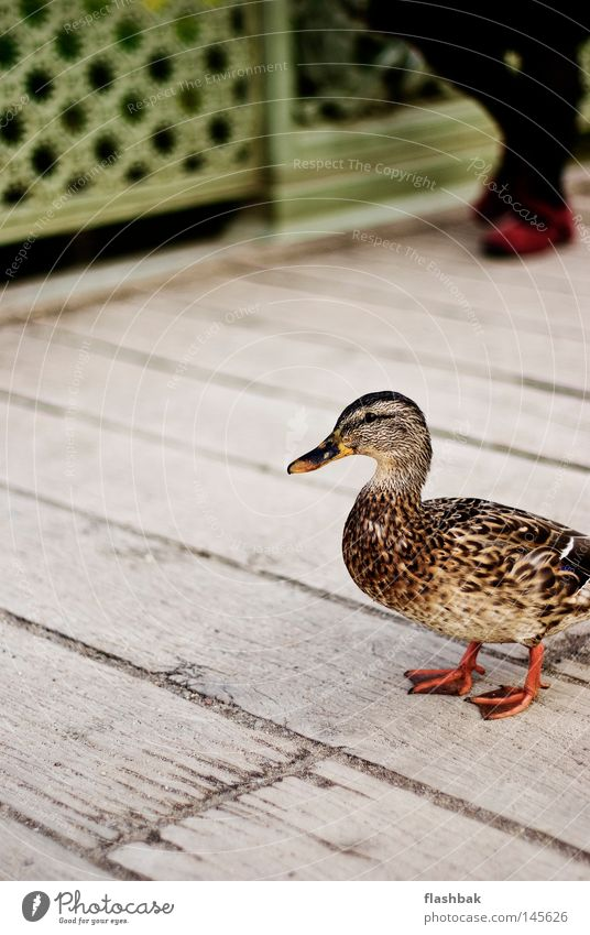 Damenwahl Ente Brücke Holz Schnabel Feder Schloss Sanssouci Vogel Herbst rote Schuhe Ente kross Ente süßsauer schwarze Strumpfhose ja ich kann Entisch