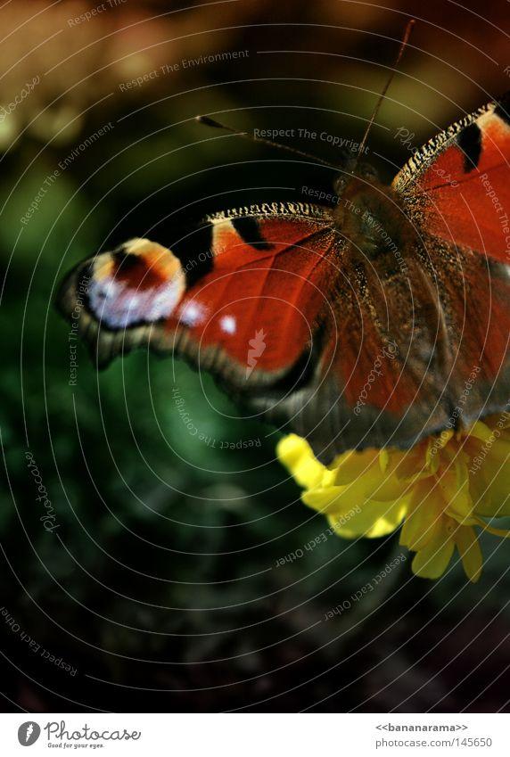 Im Garten Schmetterling Tagpfauenauge Insekt Natur fliegen Blumenbeet Pflanze Ernährung bestäuben Tagetes Tier Flügel flattern Frühling Freiheit Freude Fühler