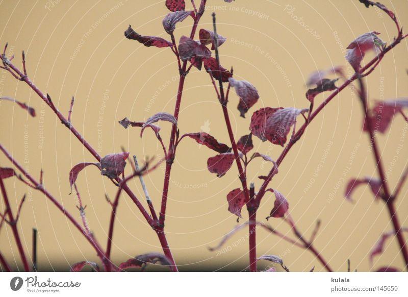 Herbstfärbung Sommer Natur Pflanze Tier Wetter Sträucher Blatt braun rot Trauer Tod Verzweiflung Vergänglichkeit beige Hintergrundbild Geäst Zweige u. Äste
