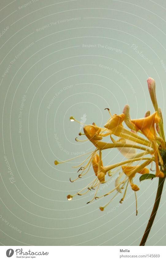 summer's end Blume Blüte gelb Regen Wassertropfen Tropfen Stengel Blütenkelch nass grau Wolken schlechtes Wetter Sommer Herbst klein fein zart edel elegant