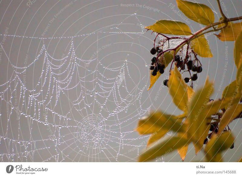 Nebelnetz Wasser Blatt kalt Herbst grau Nebel Wassertropfen Tau Spinnennetz Spinngewebe Fliederbusch Holunderbusch Netz
