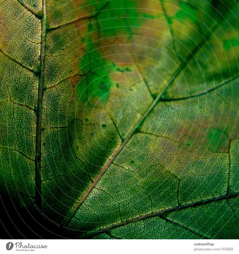 acres wild Blatt Herbst Herbstfärbung Laubbaum Natur September Vergänglichkeit leaf deciduous structure Strukturen & Formen autumn autumnal seitenrippe grün