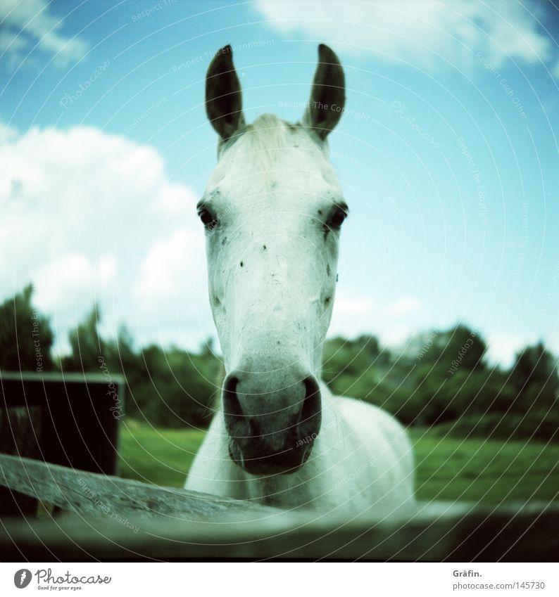 Hottehü weiß grün Baum Sommer Wolken Tier Auge Wiese Gras Pferd Ohr Neugier Zaun Weide Haustier Säugetier