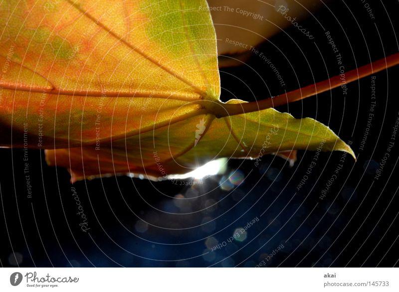 Das Blatt 29 Natur grün Pflanze Umwelt Herbst Sträucher Stengel Urwald Botanik Ahornblatt Wildnis krumm pflanzlich Gewächshaus Freiburg im Breisgau