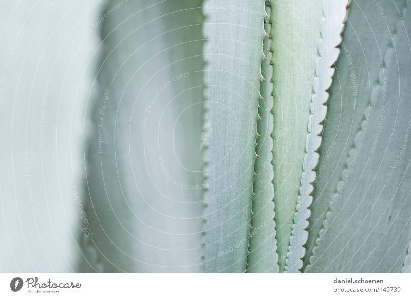 abstrakte Agave grün Farbe grau Hintergrundbild Makroaufnahme Wüste Kaktus Dorn