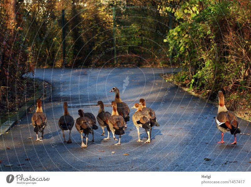 im Gänsemarsch... Umwelt Natur Landschaft Pflanze Tier Winter Schönes Wetter Sträucher Wege & Pfade Wildtier Vogel Gans Tiergruppe Tierfamilie Bewegung gehen