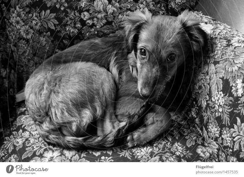 Gemütlich Hund Erholung Tier Gesicht liegen weich Fell Sofa Müdigkeit Haustier kuschlig Sessel Fuchs Welpe Mischling Blumenmuster