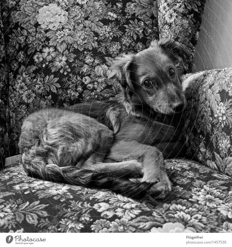 Echt? Tier Haustier Hund 1 liegen gemütlich Sessel Sofa Blick Pfote Fell Blumenmuster beobachten Ohr Welpe schön Lächeln Zufriedenheit Schwarzweißfoto