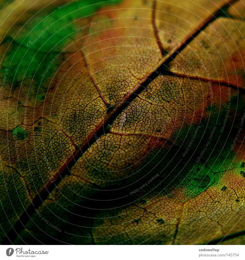 nature's way Blatt Herbst Herbstfärbung Laubbaum grün Natur September Oktober gold Makroaufnahme Nahaufnahme leaf deciduous structure Strukturen & Formen autumn
