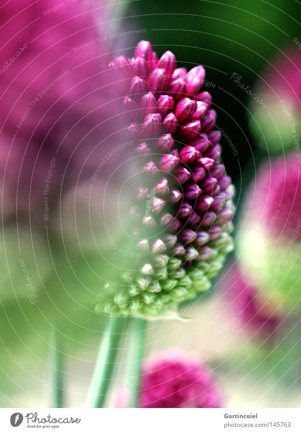 Fokus Sommer Umwelt Natur Pflanze Frühling Blume Blüte exotisch rund grün violett rosa Blütenknospen Tiefenschärfe Unschärfe Trommelstocklauch