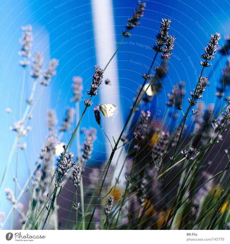 paiperleck blau Kitsch Ostsee Dia Lavendel Mittelformat Heilpflanzen Unkraut