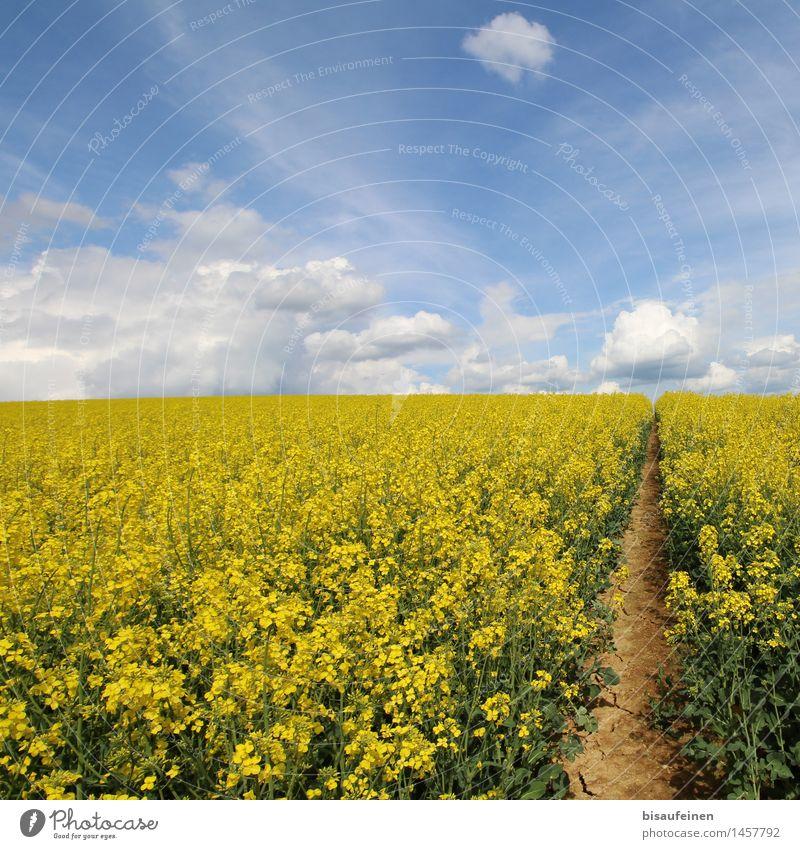 Rapsblüte - Bienenschlaraffenland oder Todesfalle? Landschaft Erde Luft Wolken Pflanze Nutzpflanze Feld Wege & Pfade Entschlossenheit Wachstum Ferne Blütenmeer