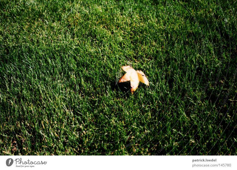 [HH08.3] Blatt auf Gras, gefallen. Herbst Rasen Wiese gelb grün Sommer Indian Summer September Oktober Sonntag Ahorn Ernte