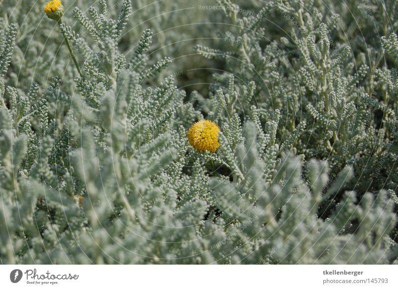 Gelb in Grün Natur grün Pflanze Blume gelb Farbe Blüte außergewöhnlich einzeln Grünpflanze zweifarbig