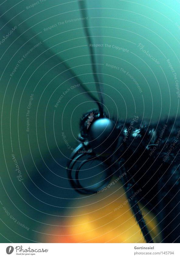 Schmetterviech V Natur schön weiß Blume grün blau Freude schwarz Auge Tier gelb Farbe Tod Beine elegant