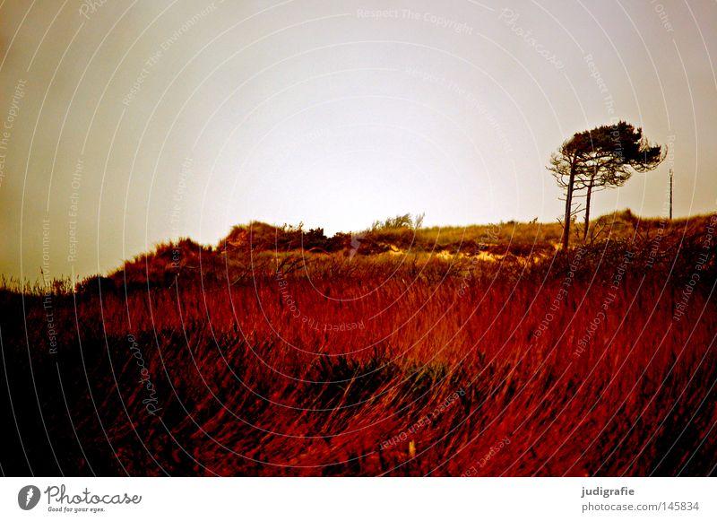 Weststrand Ostsee Darß Meer Küste Baum Windflüchter Stranddüne Gras Abend rot Erholung Natur Umwelt Farbe fischland darß Abenddämmerung