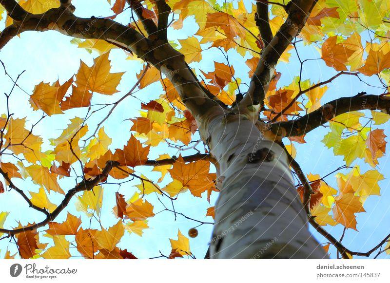 Herbst 4 Himmel Baum grün blau Blatt gelb Farbe braun orange Perspektive Jahreszeiten Baumstamm zyan Geäst Zweige u. Äste