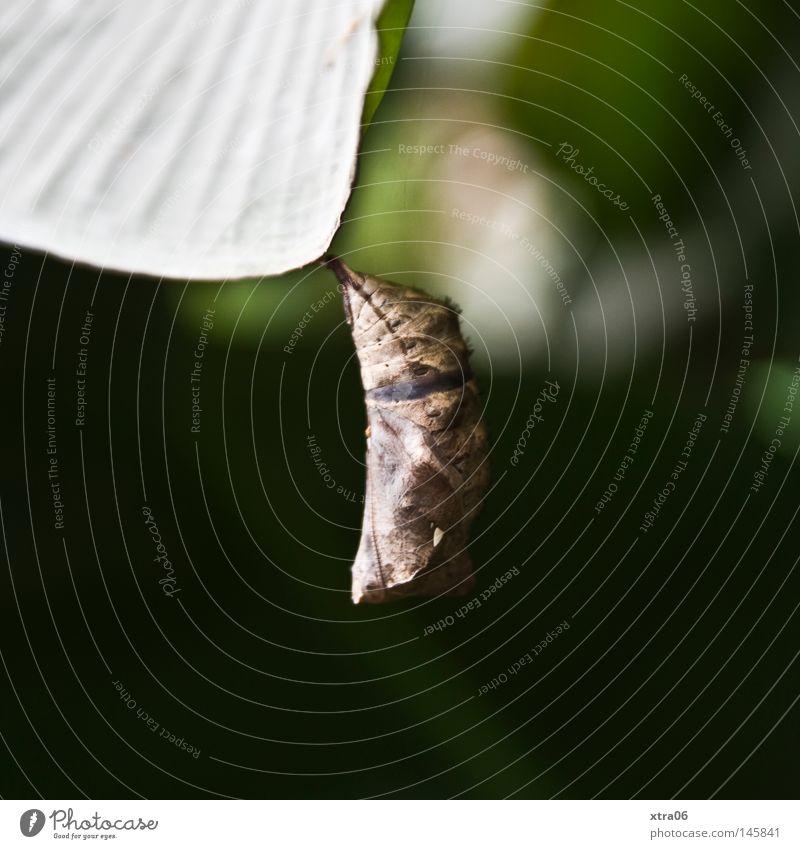 schlummernde überraschung grün Blatt Schmetterling Spannung hängen Kokon verpackt ungewiss
