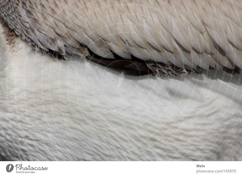 if she fliegt..... Pelikan Detailaufnahme Fleischfliege Tier Bund federn Stufe flügel gefieder freiheit ausschnitt Fliegen