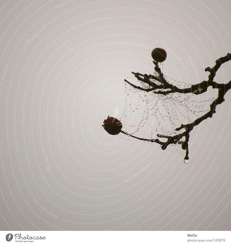 benetzt Geäst Zweige u. Äste Beeren Spinnennetz Wassertropfen Tropfen Vernetzung grau trüb trist Nebel Kontrast Tod Trauer dunkel Herbst Verzweiflung Netz