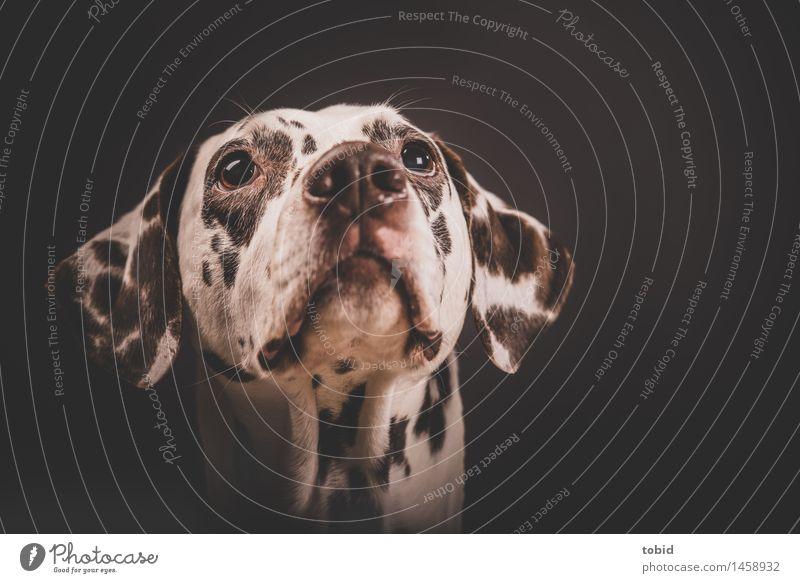 Kimi Haustier Hund Tiergesicht beobachten Blick Freundlichkeit nah weich Fell Labrador Farbfoto Studioaufnahme Nahaufnahme Blitzlichtaufnahme Tierporträt