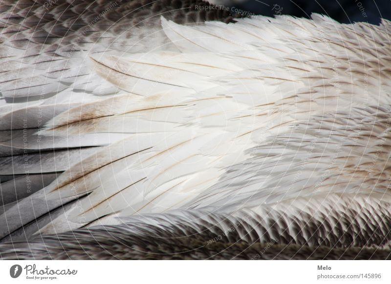 wenn sie fliegt... II Feder Pelikan Detailaufnahme Tier Vogel