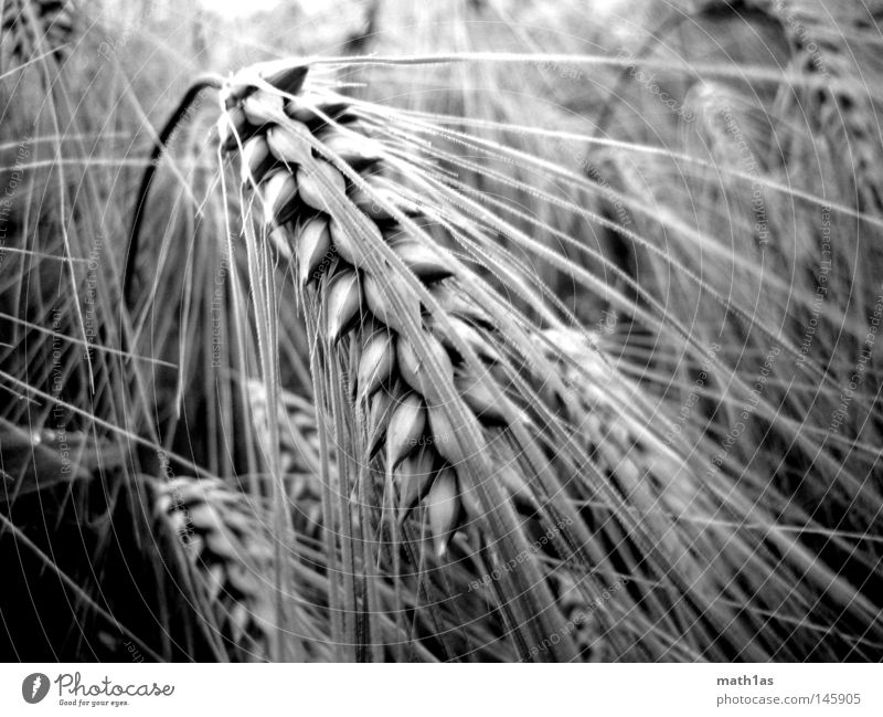 Bei meiner Ähre weiß Pflanze schwarz Wiese Getreide Korn Ähren Hafer