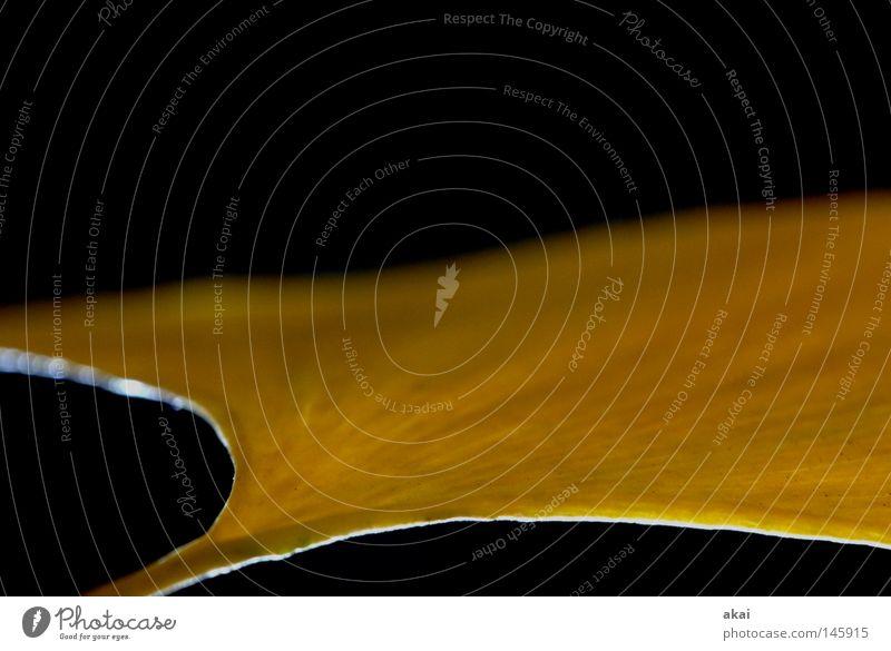 Das Blatt 30 Natur Pflanze Umwelt gelb Sträucher Stengel Urwald Botanik Wildnis krumm pflanzlich Gewächshaus Freiburg im Breisgau Ginkgo Plantage Makroaufnahme