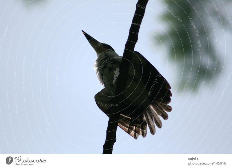 bitte jetzt nicht... Tier Urwald Vogel 1 blau schwarz weiß Eisvögel Schnabel Hinterteil Feder Asien Singapore Farbfoto Außenaufnahme Hintergrund neutral Tag