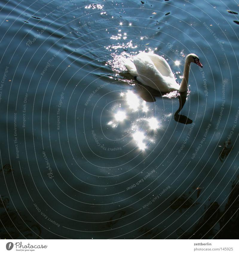 Schwan Wasser Sonne Sommer See Park Vogel Fluss Klassik Spiegel Teich Bach Oberfläche Gewässer Kanal Wasseroberfläche