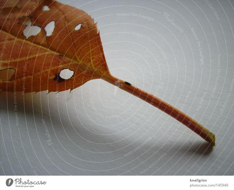 Zerfall Blatt Herbst Jahreszeiten braun goldgelb Stengel Loch Schatten hell weiß Verfall Natur Pflanze alt Ende Vergänglichkeit Strukturen & Formen Abgefallen