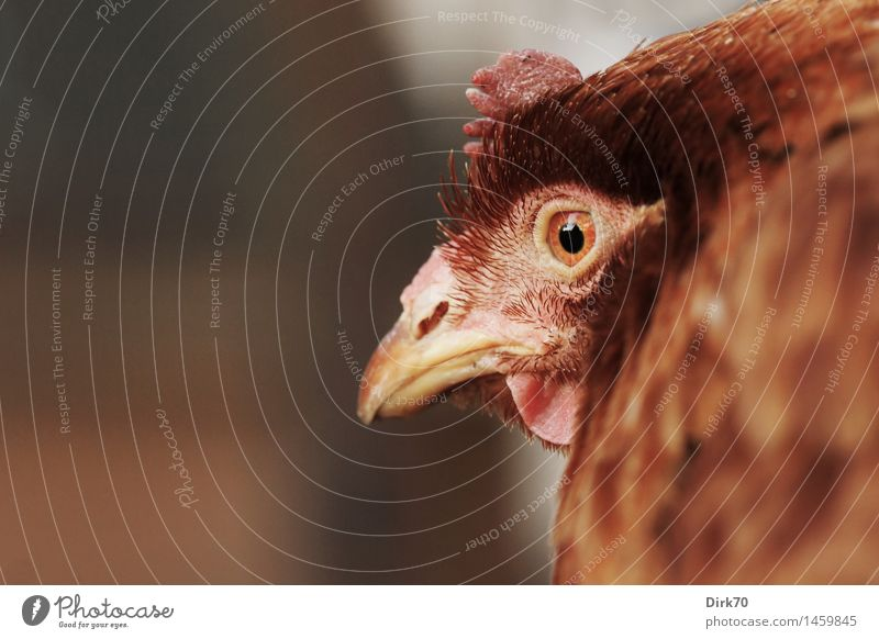Hühnchen, zweifelnd Tier schwarz braun Vogel rosa Kopf orange Angst beobachten Landwirtschaft Wachsamkeit Haustier Tiergesicht Schnabel Forstwirtschaft Haushuhn