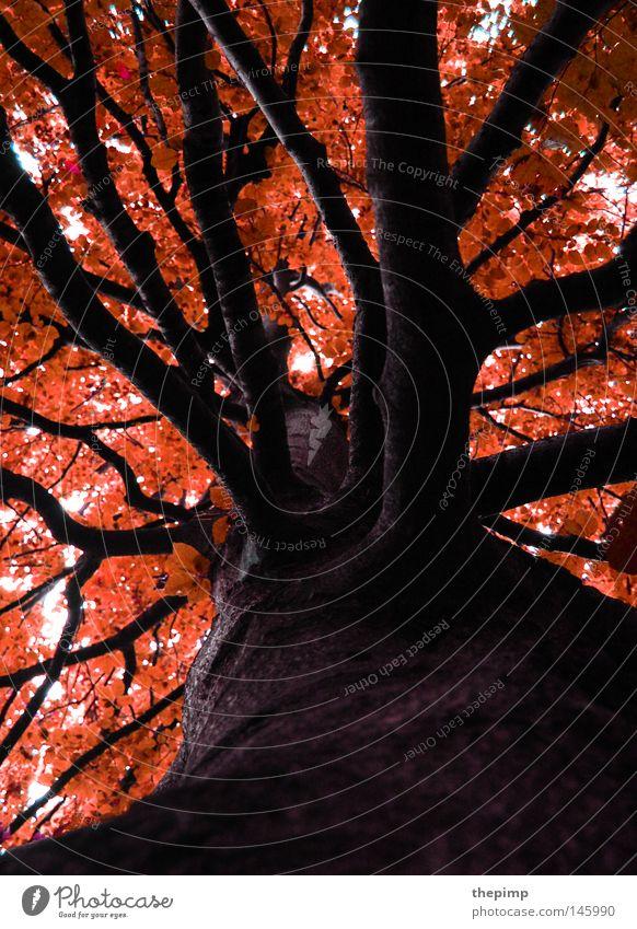 feuriger herbst Baum Geäst Zweige u. Äste rot Herbst Jahreszeiten orange Wald Holz Natur Baumrinde braun schwarz Feuer Blatt getrocknet vertrocknet Tod