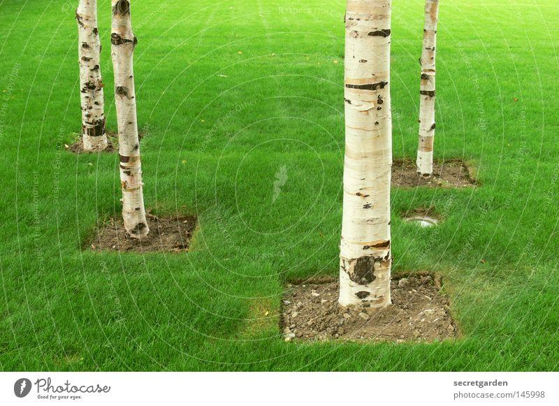 grüner wirds nicht, mann! England Birke Baum Raum weiß Quadrat erobern Ordnung Verbote Spielen kinderlos Park Großbritannien offen Sommer Frühling Wald