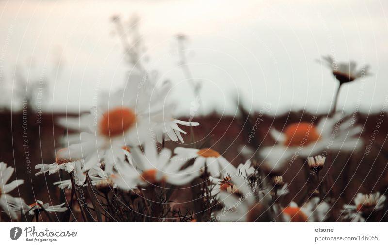::BLUMENGROUP:: Blume Feld Natur Balkonpflanze Herbst Blüte Blütenkette Margerite gelb Pflaumenblüte Makroaufnahme Geburt Blumenstrauß Gartenbau Gute Laune