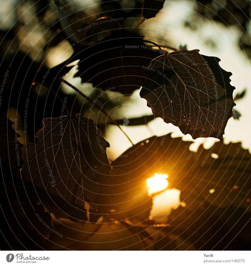 herbstlicht Herbst Licht Blatt Sonnenlicht Sonnenuntergang Abend spät Physik Baum Sträucher Format Anschnitt Quadrat Rechteck Blattgrün Gefäße gelb rot